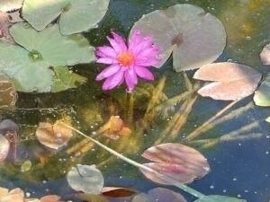 Koi Pond Purple water Lilly